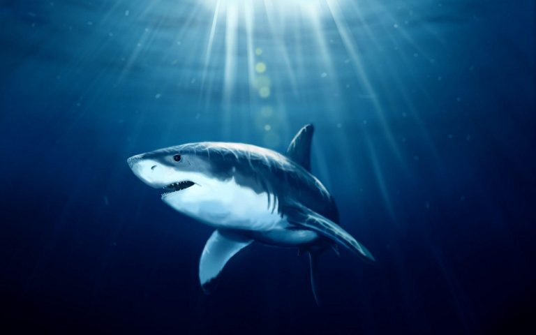shark wallpaper 132