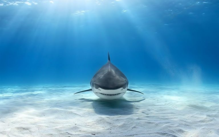 shark wallpaper 147