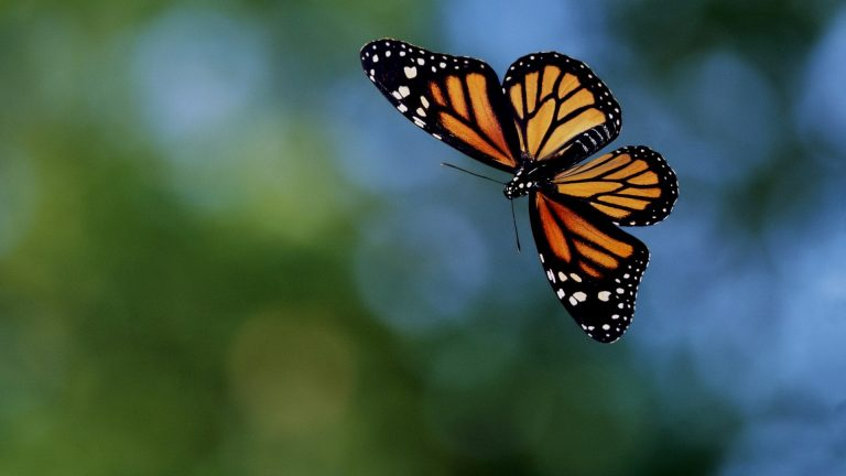 butterfly wallpaper 140