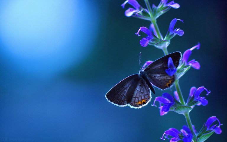 butterfly wallpaper 153