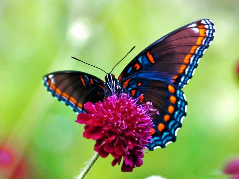 butterfly wallpaper 157