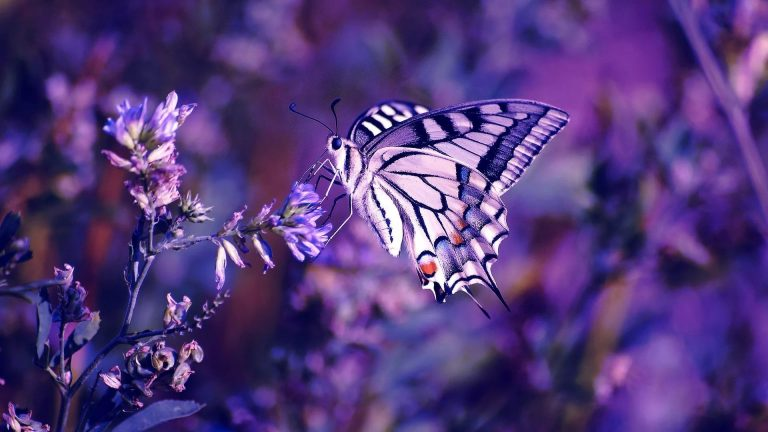 butterfly wallpaper 162