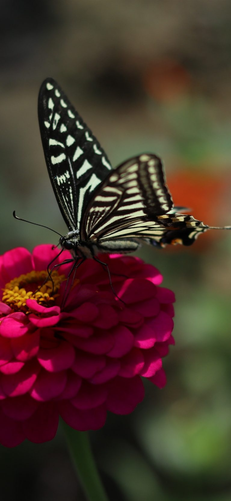 butterfly wallpaper 173