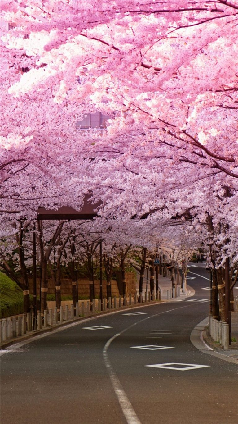 cherry blossom wallpaper 33