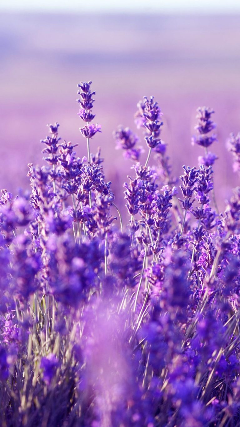 lavender wallpaper 6
