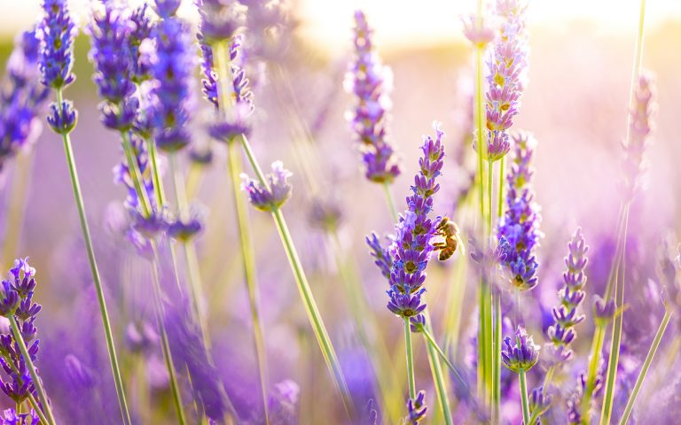 lavender wallpaper 7