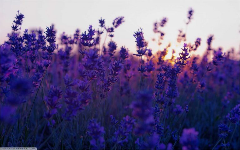 lavender wallpaper 9