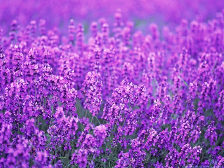 lavender wallpaper 10