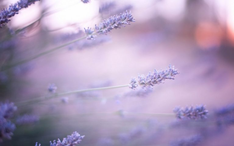 lavender wallpaper 12