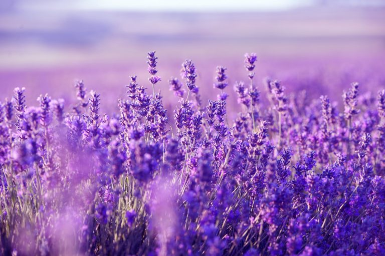 lavender wallpaper 13
