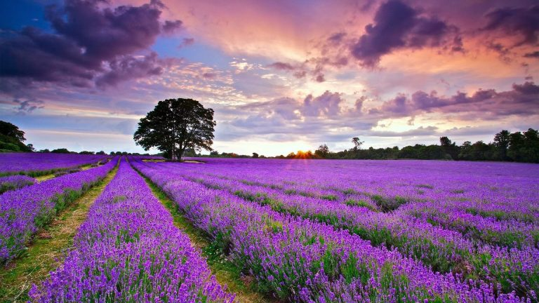 lavender wallpaper 16
