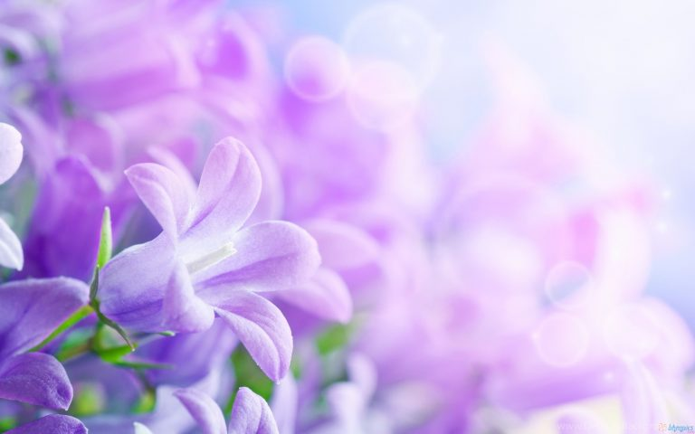 lavender wallpaper 17
