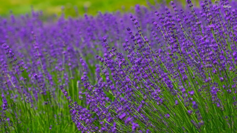 lavender wallpaper 20