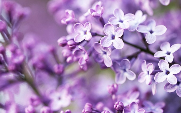 lavender wallpaper 21