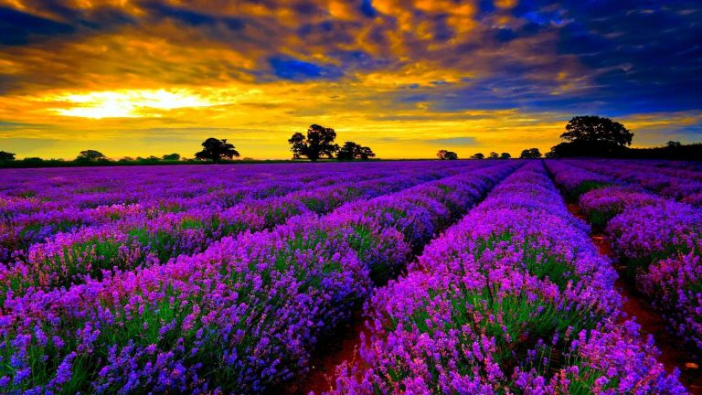 lavender wallpaper 22