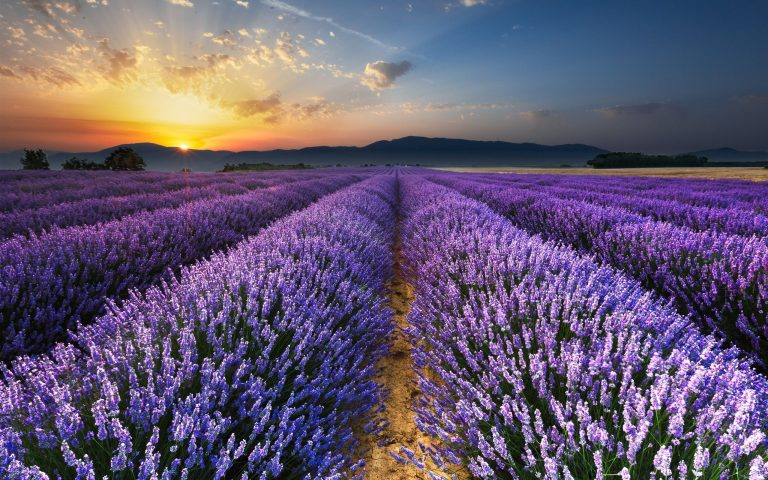 lavender wallpaper 23