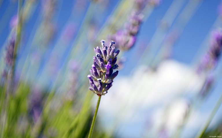 lavender wallpaper 26