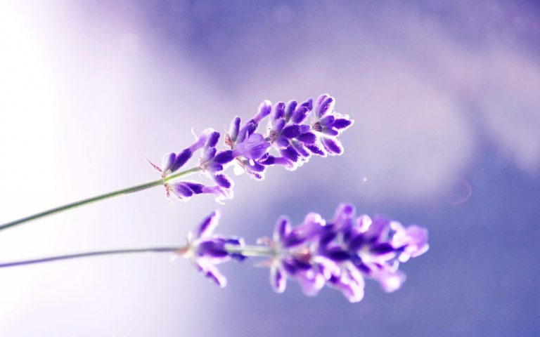 lavender wallpaper 27