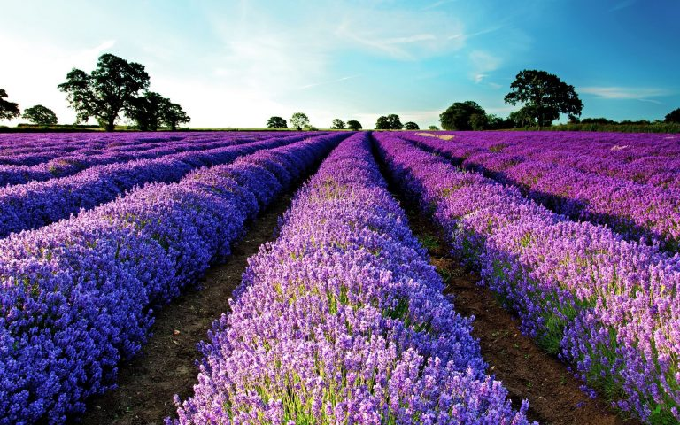 lavender wallpaper 29