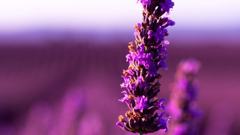 lavender wallpaper 30