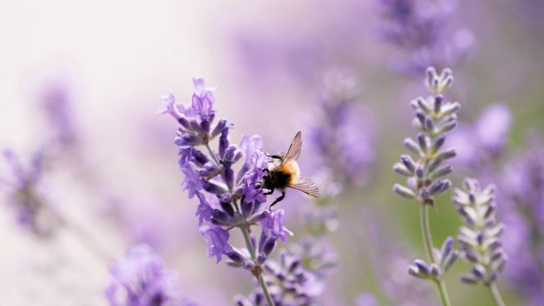 lavender wallpaper 31