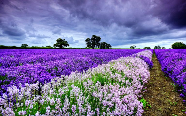 lavender wallpaper 32