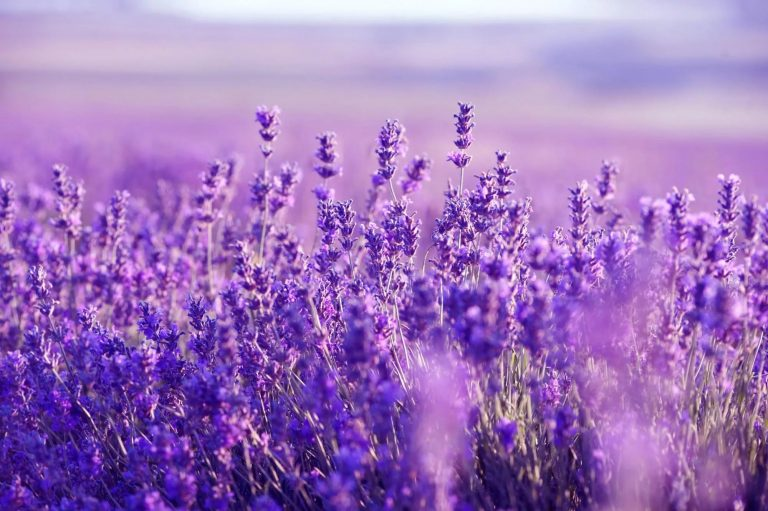 lavender wallpaper 34