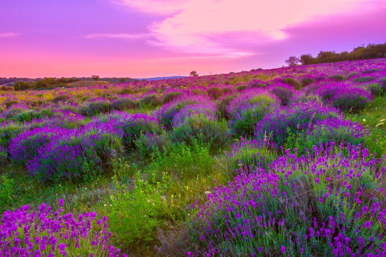 lavender wallpaper 35