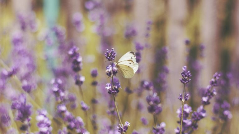lavender wallpaper 36