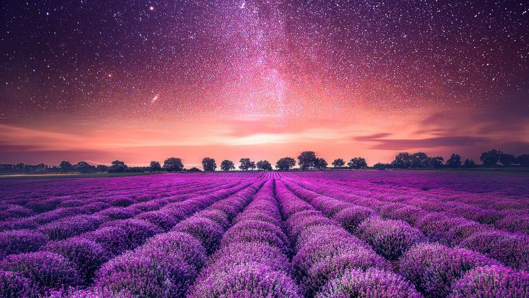 lavender wallpaper 40