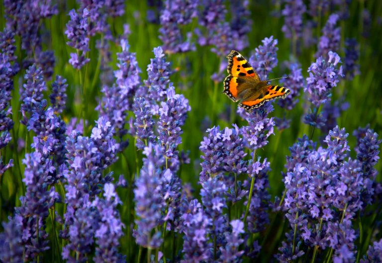 lavender wallpaper 41