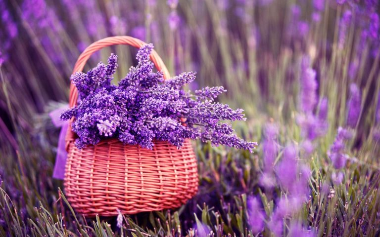 lavender wallpaper 42