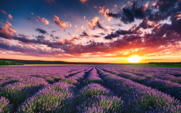 lavender wallpaper 44