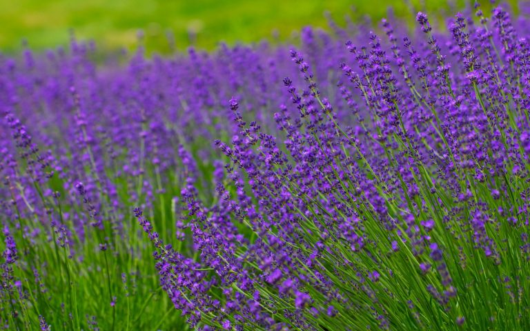lavender wallpaper 46