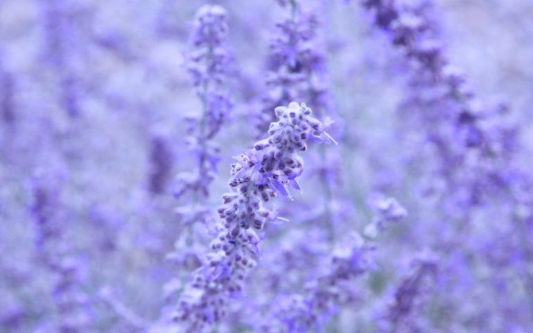lavender wallpaper 52