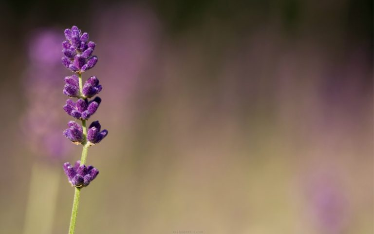 lavender wallpaper 53