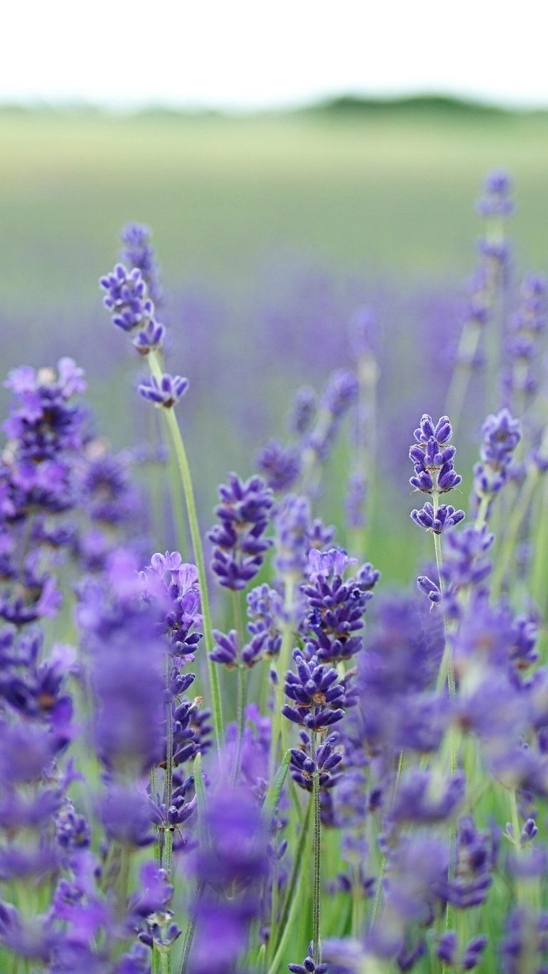 lavender wallpaper 58