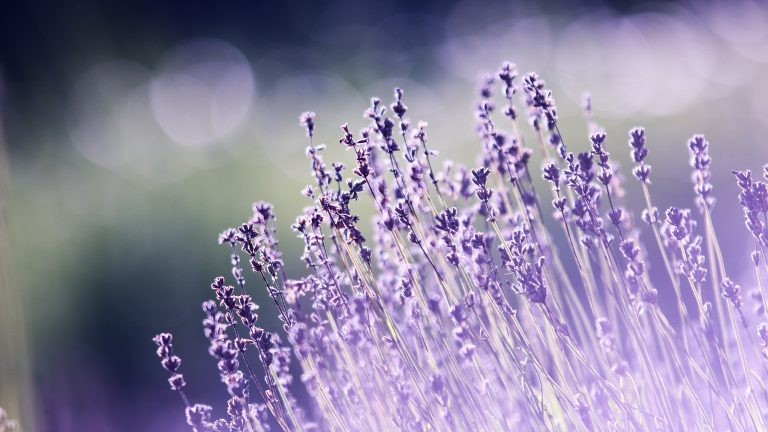 lavender wallpaper 59