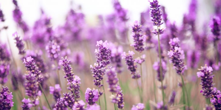 lavender wallpaper 60