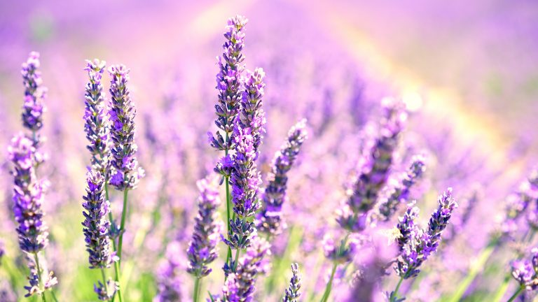 lavender wallpaper 62