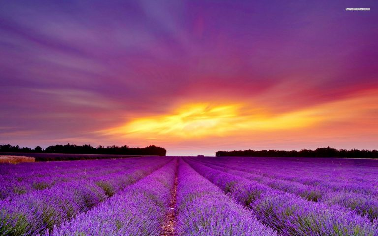 lavender wallpaper 65