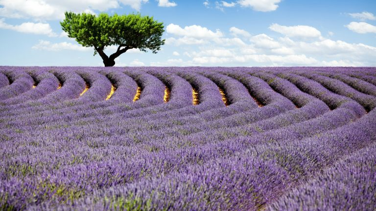lavender wallpaper 66