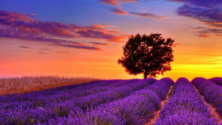 lavender wallpaper 68