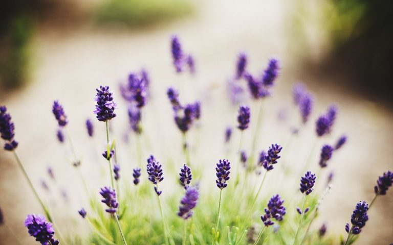 lavender wallpaper 69
