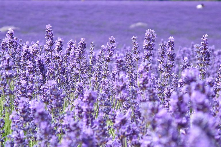 lavender wallpaper 70