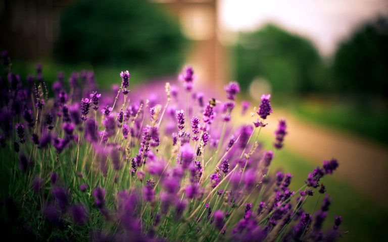 lavender wallpaper 71