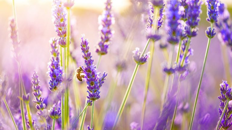 lavender wallpaper 72