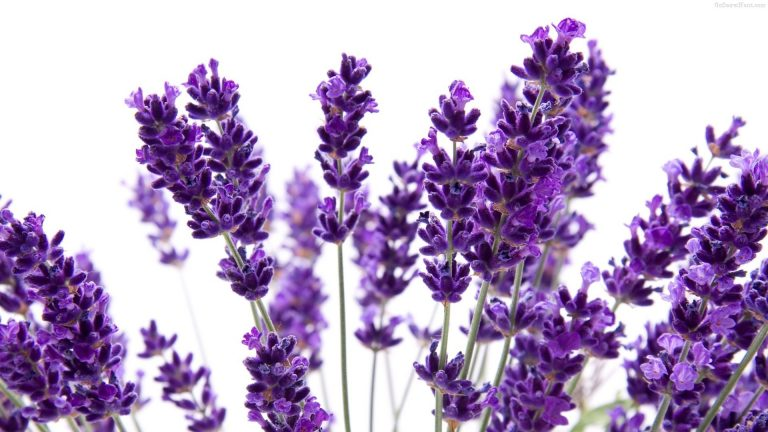 lavender wallpaper 73