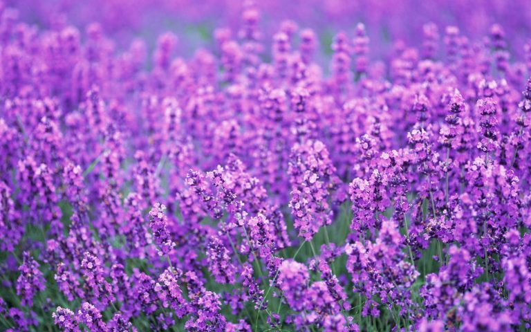 lavender wallpaper 75