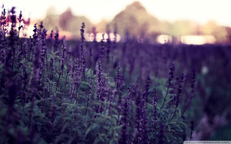 lavender wallpaper 76